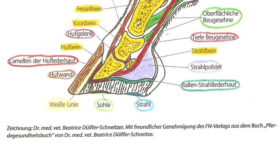 Was ist die Hufrolle? – Haflingerfreunde Gummelhausen